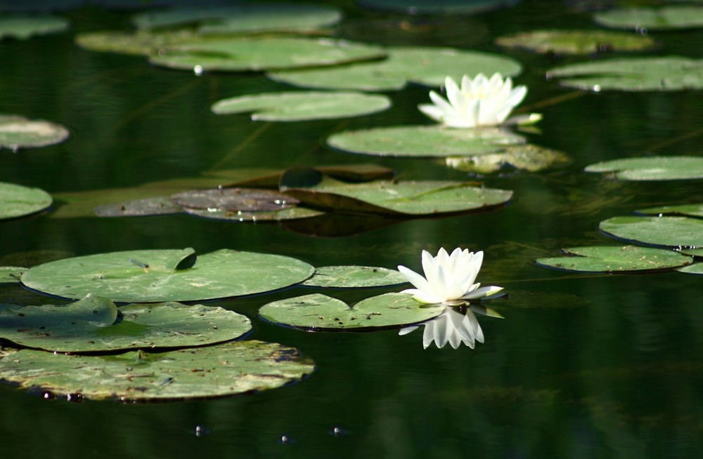Nénuphars posés dans l'écrin de l'étang