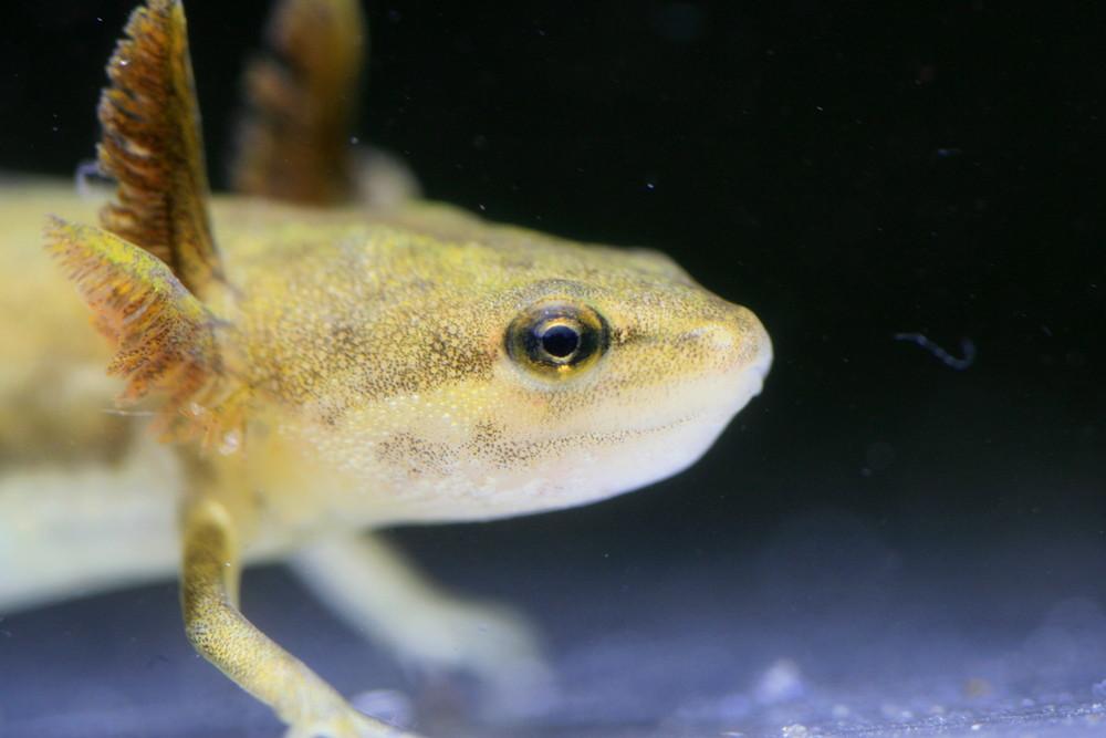 Neotenes Teichmolch Weibchen - Triturus vulgaris