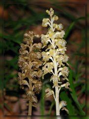 Neottia nidus avis & N. ssp. pallida