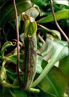 *Nepenthes Hybride Kanne*