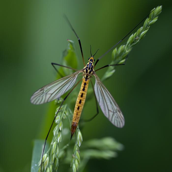 Nephrotoma appendiculata femelle
