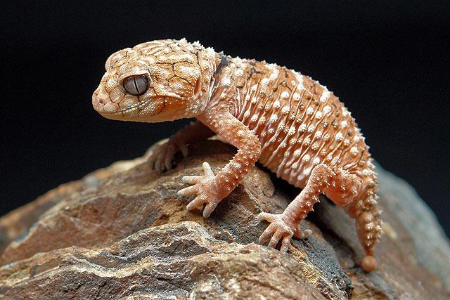 Nephrurus amyae ( Australischer Knopfschwanzgecko )