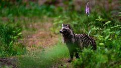 Nervöser Marderhund