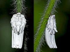 Nessel-Röhrenschildlaus (Orthezia urticae) - Cochenille du genre Orthezia (Ortheziidae).