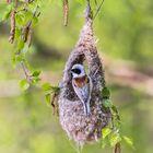 Nest bauende Beutelmeise