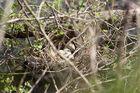 Nest eines Teichhuhnes oder Teichralle