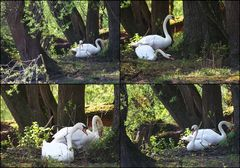 Nestbau bei Familie Schwan