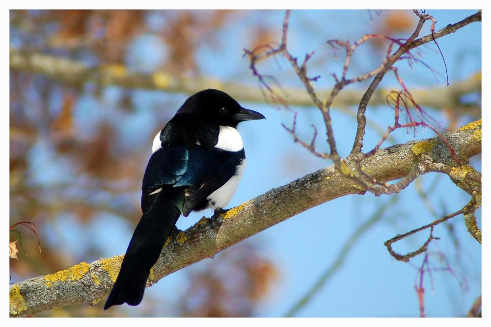Nesträuber und Vogelmörder