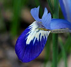 Netzblatt-Iris (Iridodyctium reticulata)