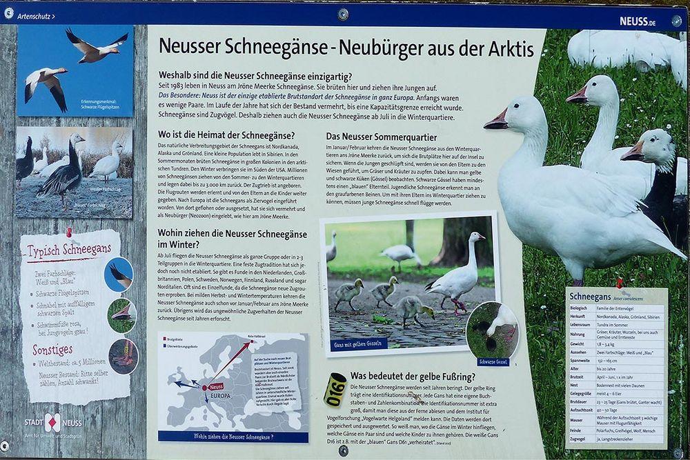 Neubürger in Neuss - Schneegänse  Historie