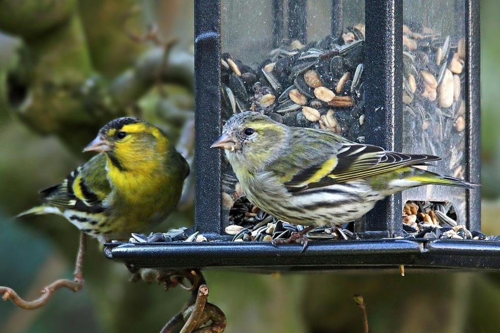 neue gäste am futterhaus foto  bild  tiere wildlife