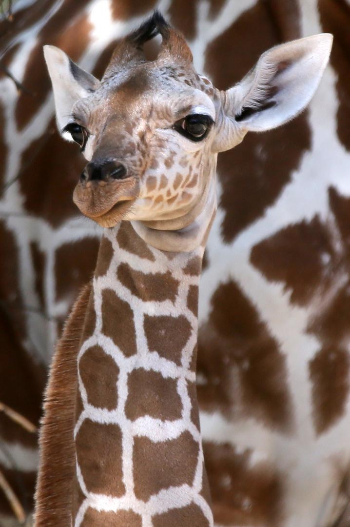 Neue Giraffe
