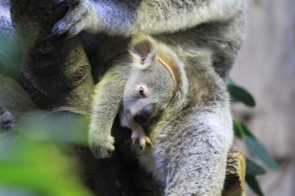 neues koalababy aus dem zoo duisburg foto bild tiere tierkinder natur bilder auf fotocommunity. Black Bedroom Furniture Sets. Home Design Ideas