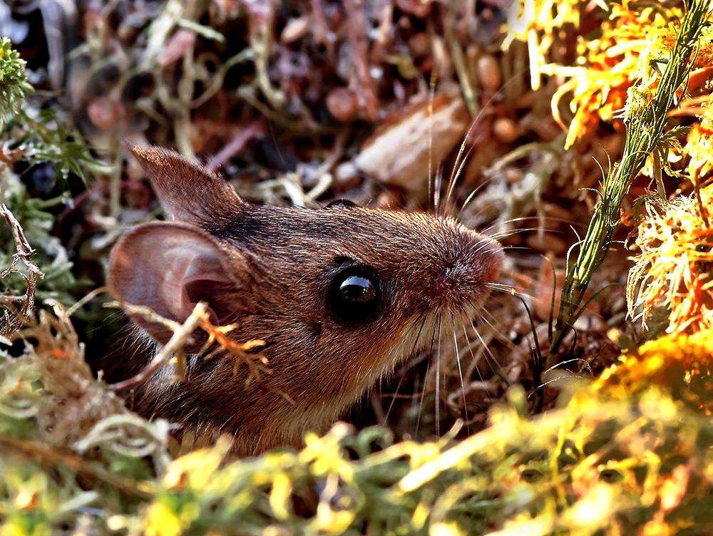 Neues von meiner Maus (Gelbhalsmaus)