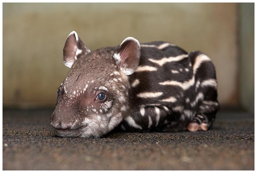 Neugeborener Flachlandtapir