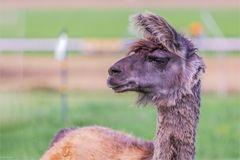 Neugierig dieses Lama - Lama glama