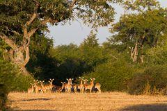 Neugierige Besucher, die Impalas, schauen uns beim Frühstück zu.