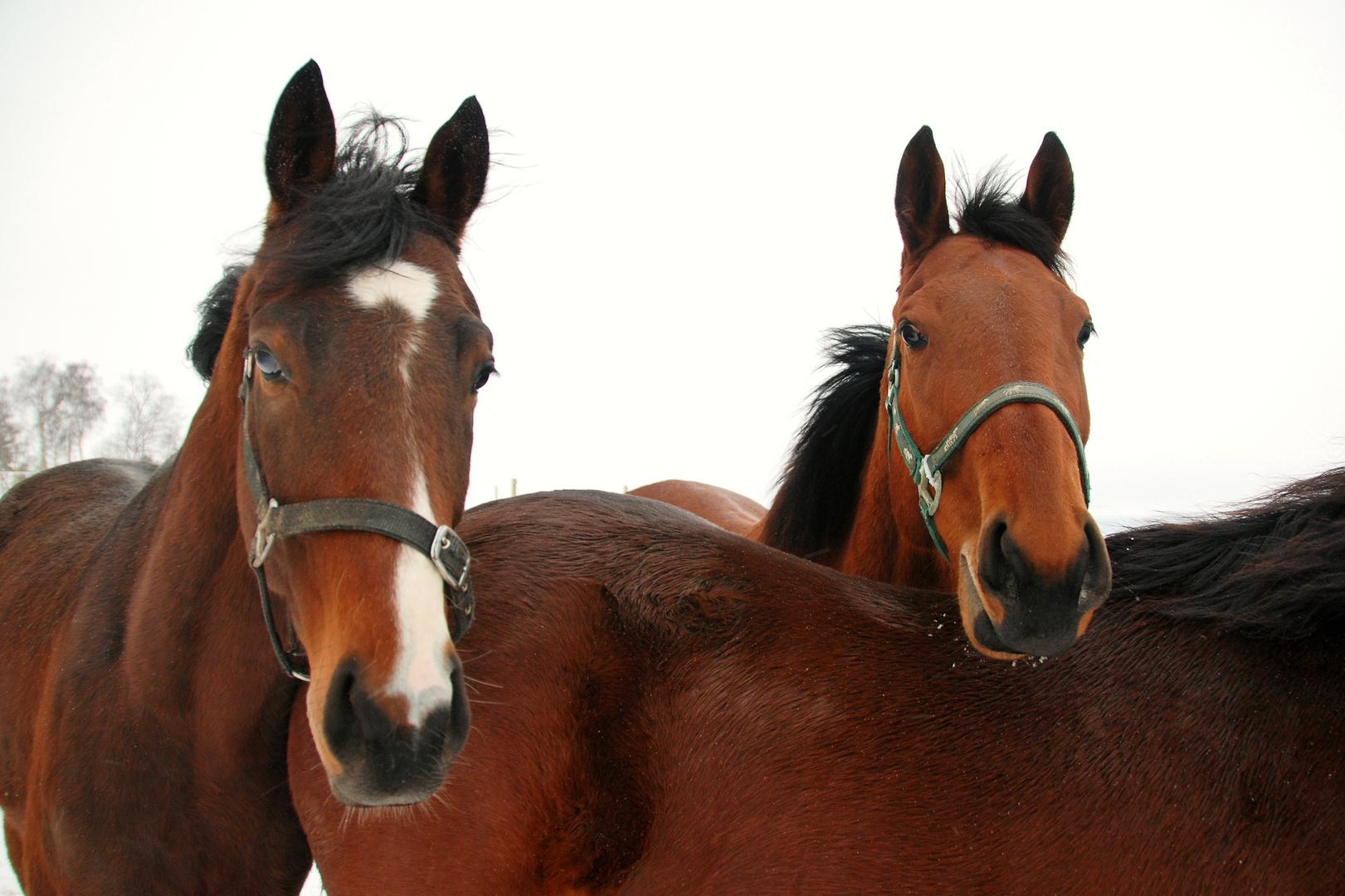 Neugierige Blicke auf der Pferdekoppel