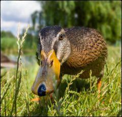 Neugierige Ente ;o))