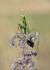 Neugierige Europäische Gottesanbeterin - Mantis religiosa