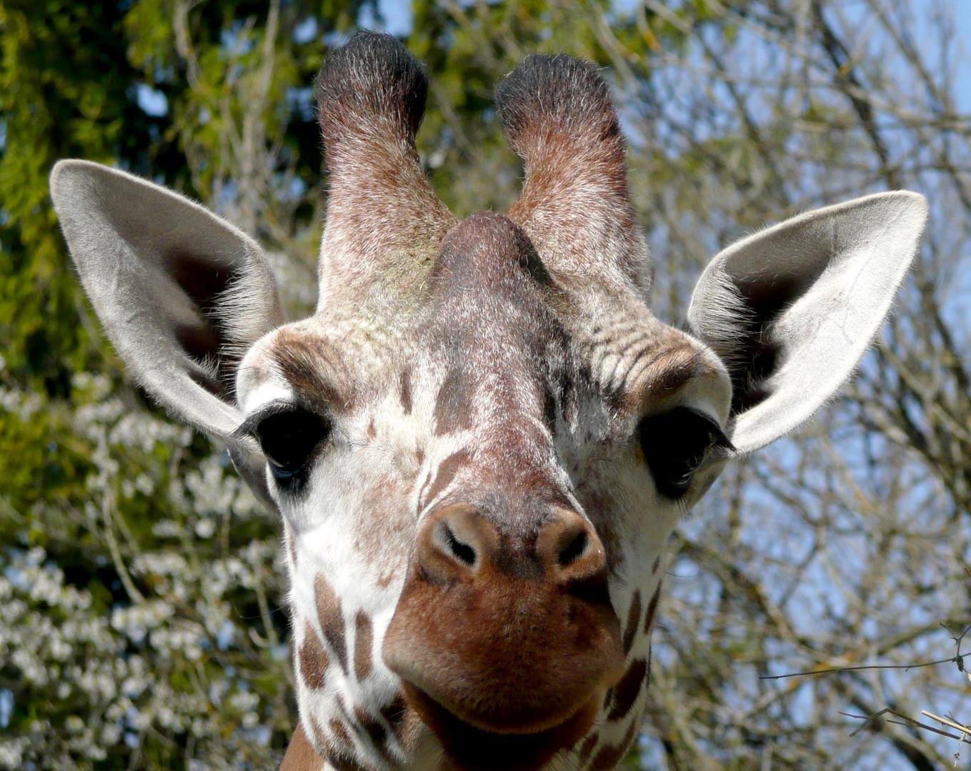 Neugierige Giraffe im Tierpark Hellabrunn (München)