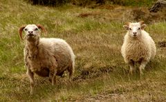 neugierige Island-Schafe