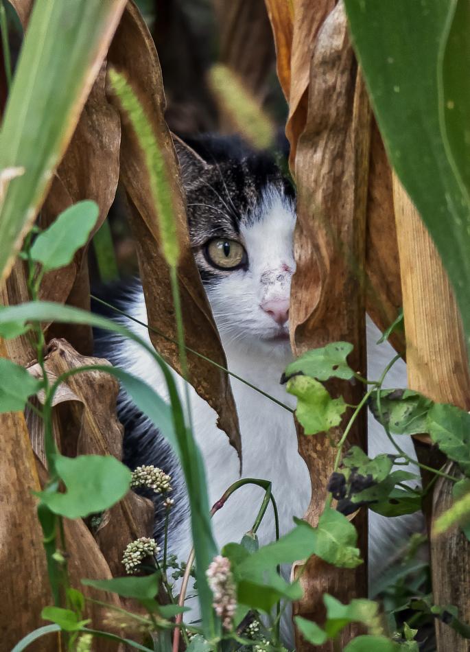 Neugierige kleine Katze im Maisfeld!