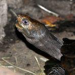 neugierige oder hungrige? Schildkröte