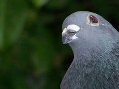 Neugierige Taube