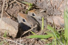 Neugierige Uinta Ground Squirrel ...