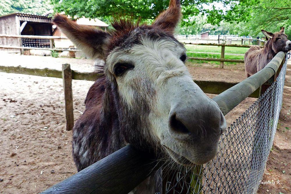 Neugieriger Esel - im Kinderbauernhof Neuss