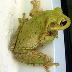 neugieriger Frosch