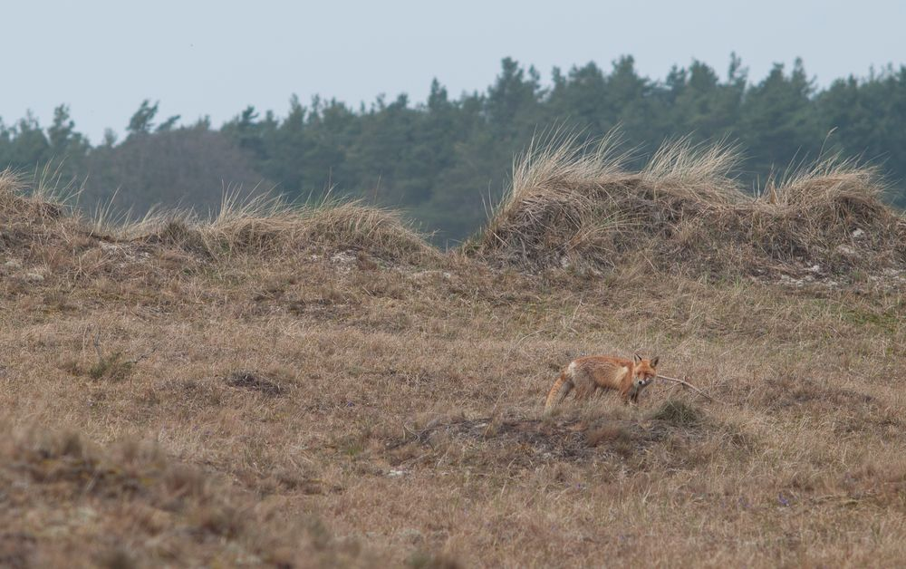 neugieriger Fuchs...