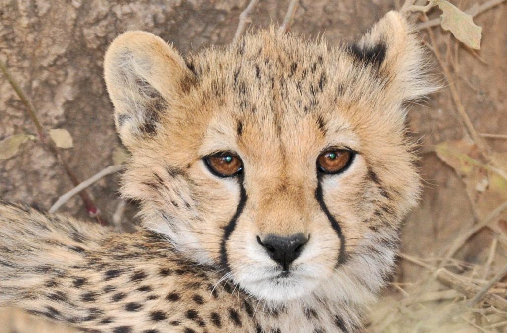Neugieriger kleiner Gepard