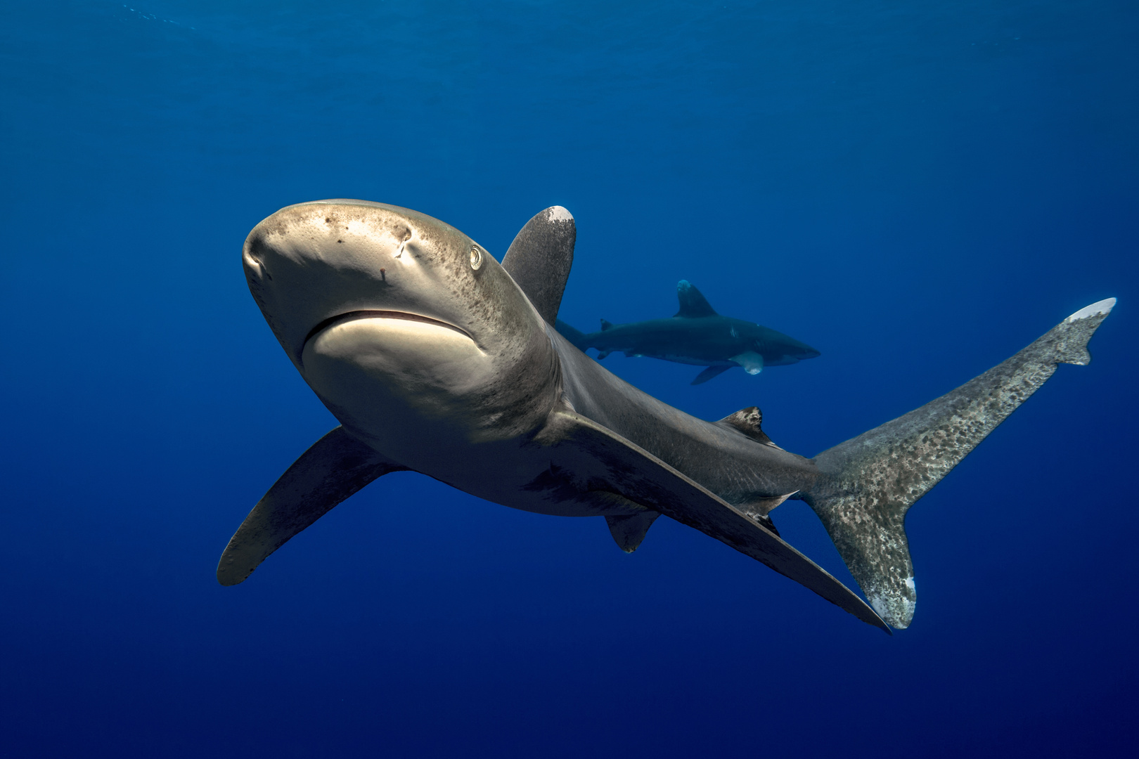 Neugieriger Longimanus im Blauwasser