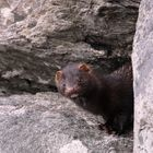 Neugieriger Mink