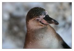 Neugieriger Pinguin