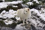 neugieriger Polarfuchs