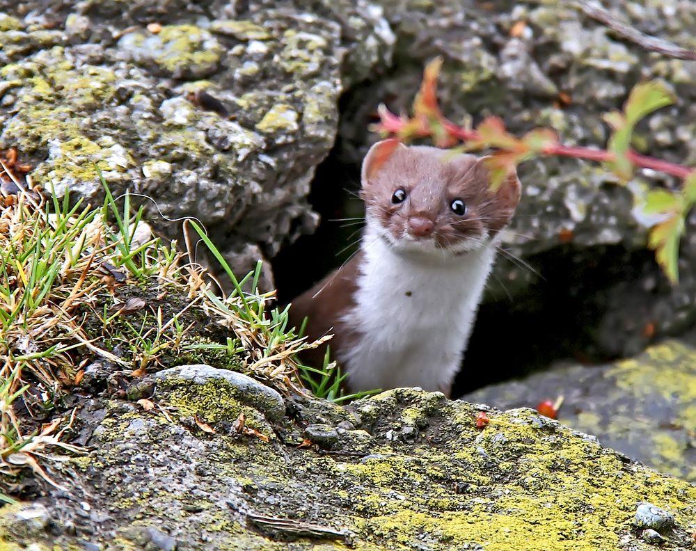 Neugieriges Hermelin (Mustela erminea) - Une hermine curieuse!