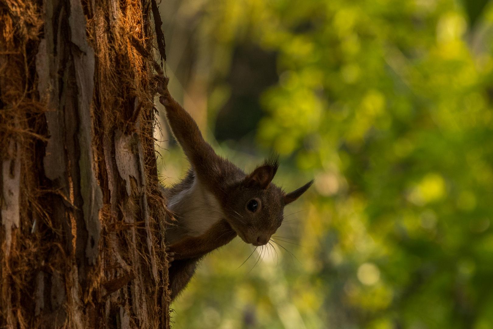Neugieriges Hörnchen