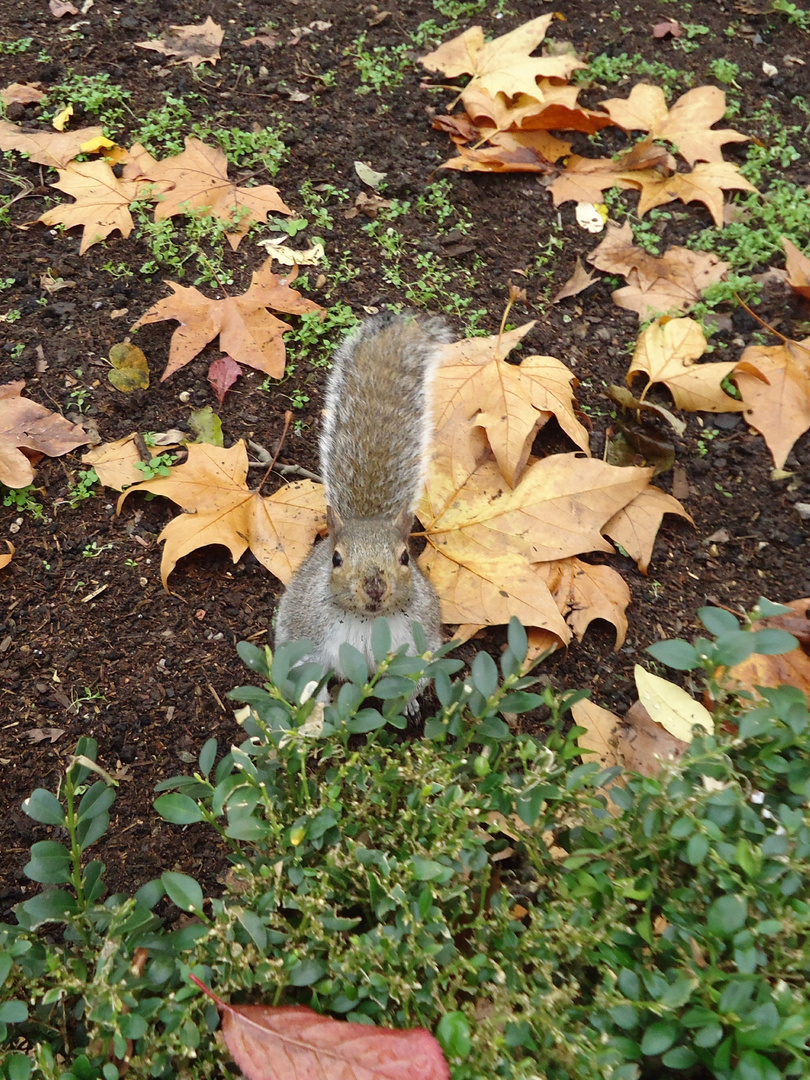 Neugieriges Londoner Eichhörnchen