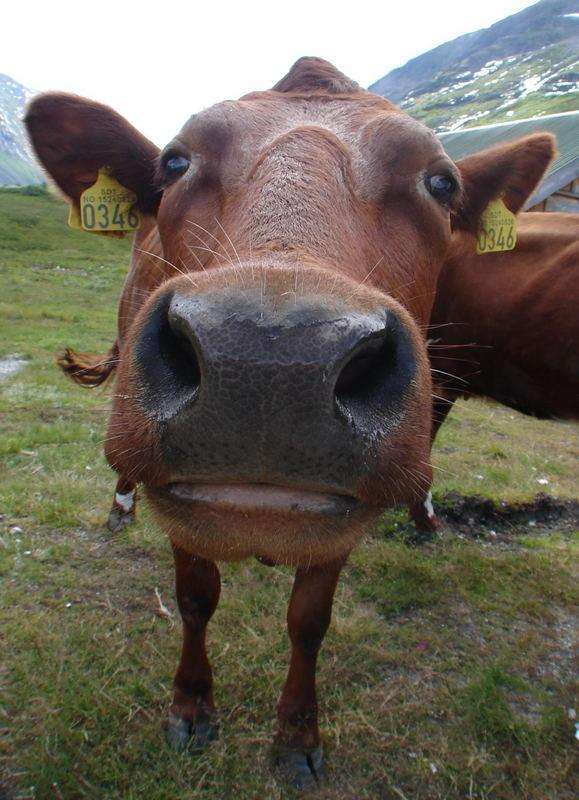 Neugieriges Rindvieh