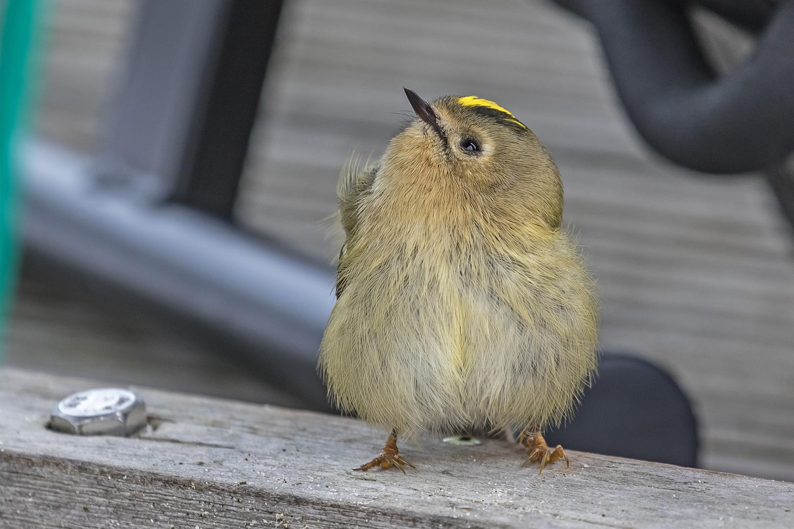 Neugieriges Wintergoldhähnchen