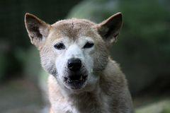 Neuguenea Dingo