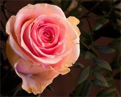 Neujahrs-Rose