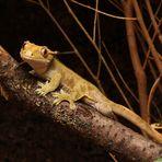 Neukaledonischer Kronengecko - Correlophus ciliatus