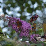 Neulich am SchmetterlingsFlieder