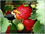 ... neulich beim Erdbeerpflücken ...