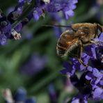 neulich im Lavendel