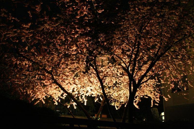 neulich... nachts unterm blühenden Kirschbaum